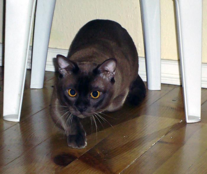 Вязка шоколадных котов