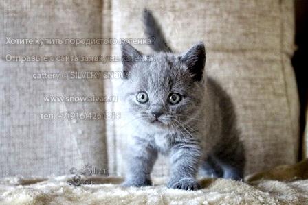 Продажа+котят