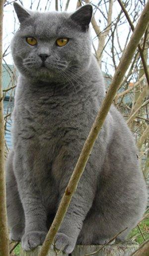 Американская короткошерстная кошка  описание породы кошки