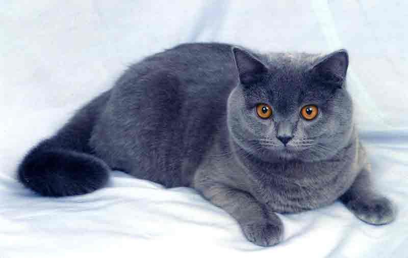 Порода котов британская голубая