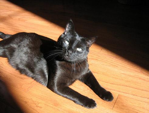 Абиссинская кошка фото цена окрасы видео характер