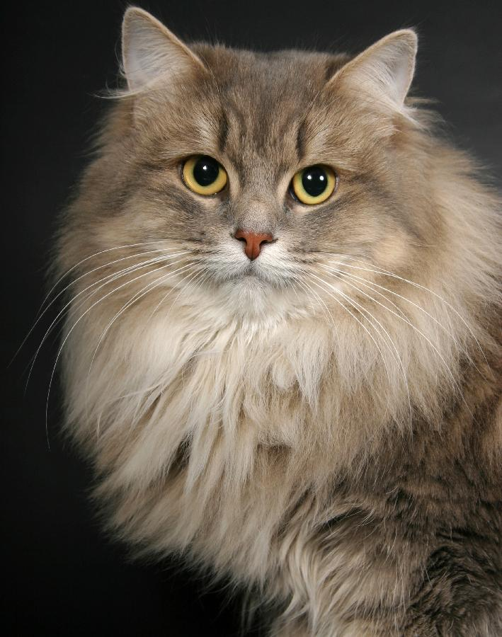 Siberian Cat The Most Beautiful World.